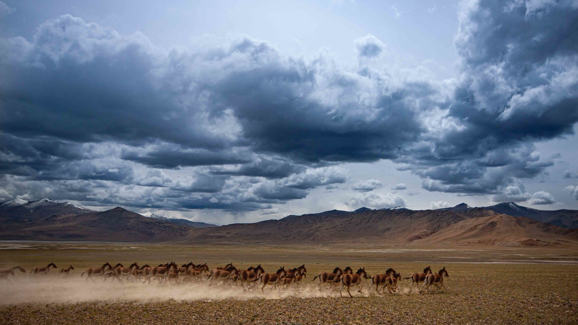 At a Canter: The Kiang of the Changthang