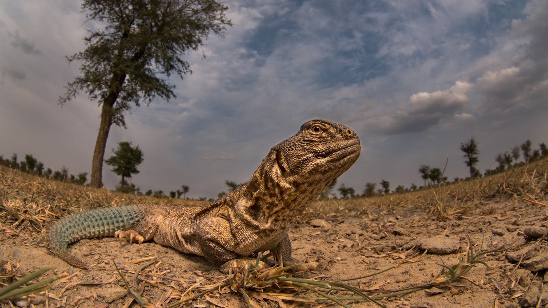 Meet Spiny, the Only Herbivorous Lizard Species in India