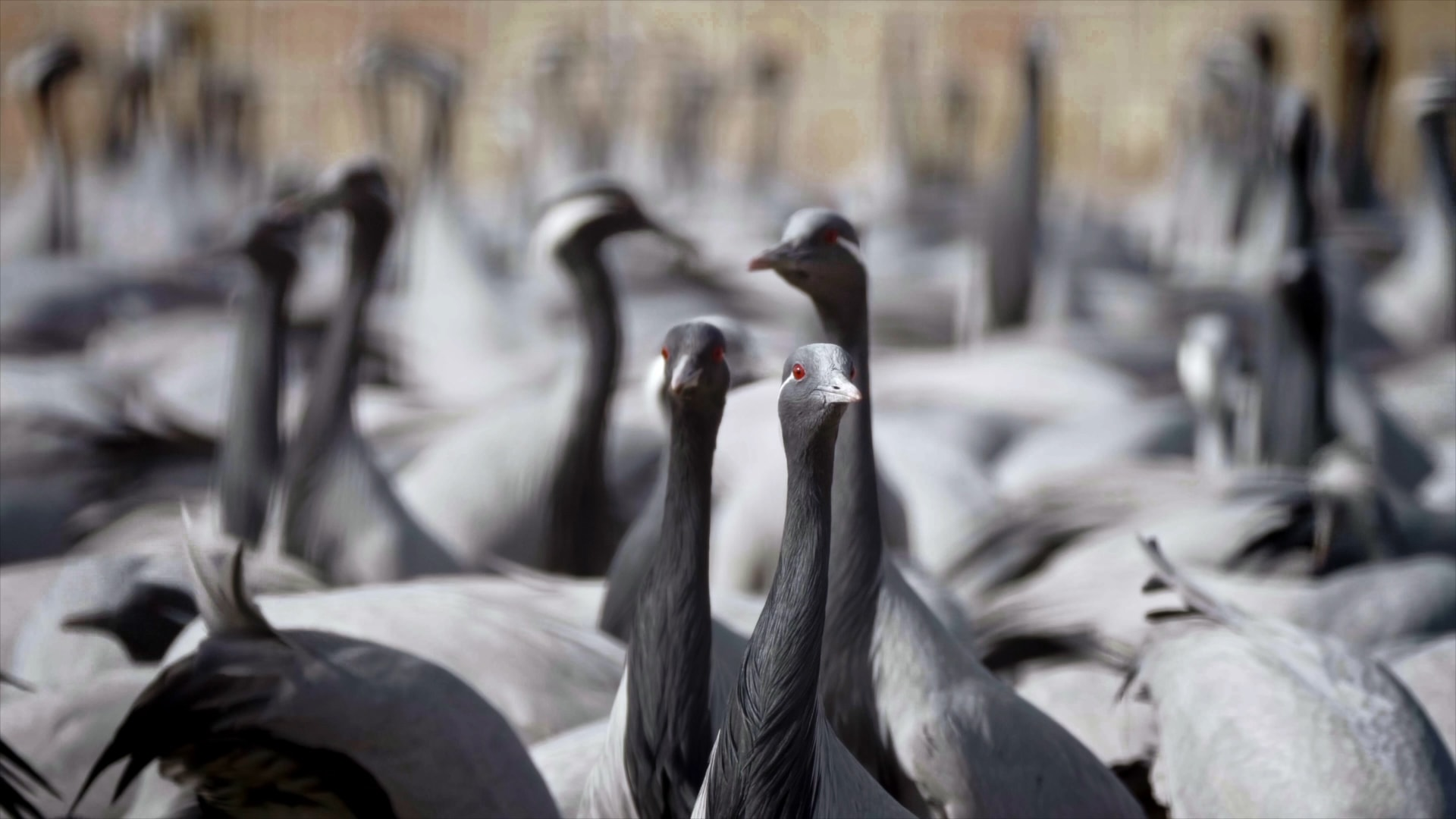 Winter Dance of the Demoiselle Cranes