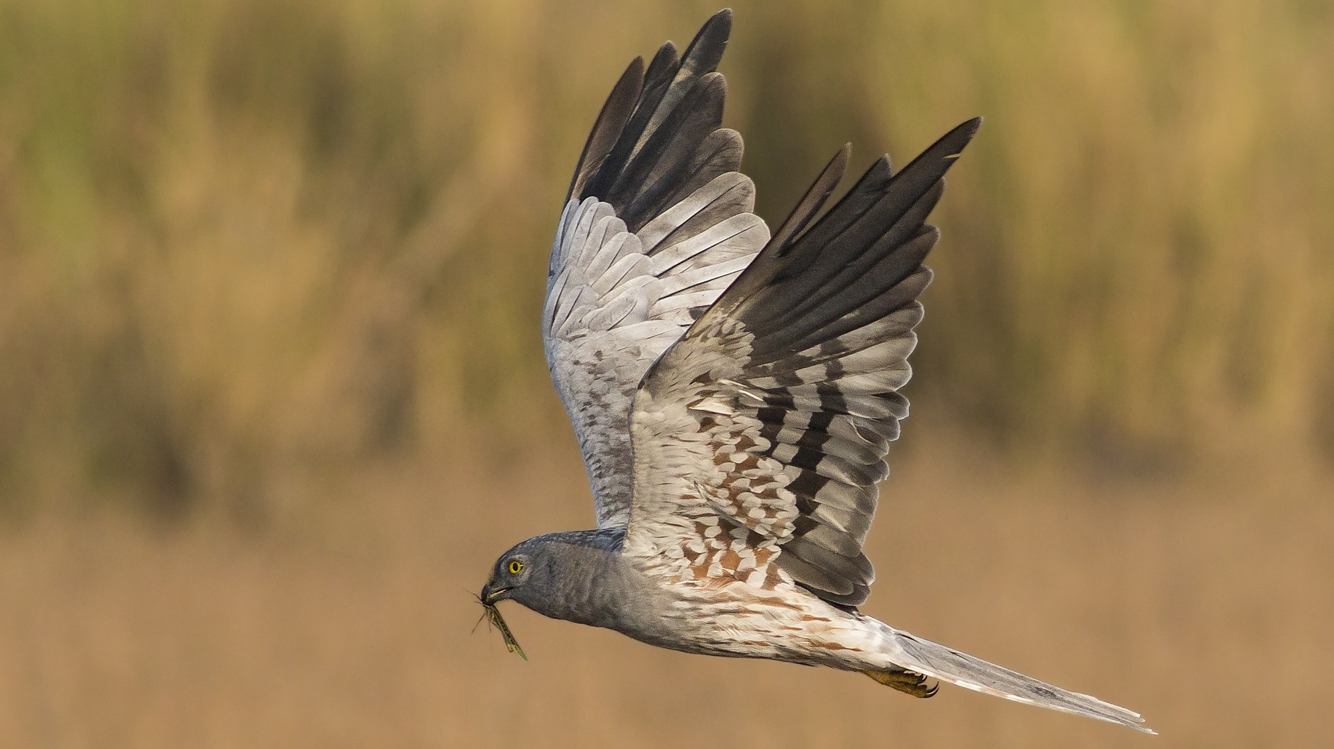 Montagu's Harrier: Prowlers on the Grassland