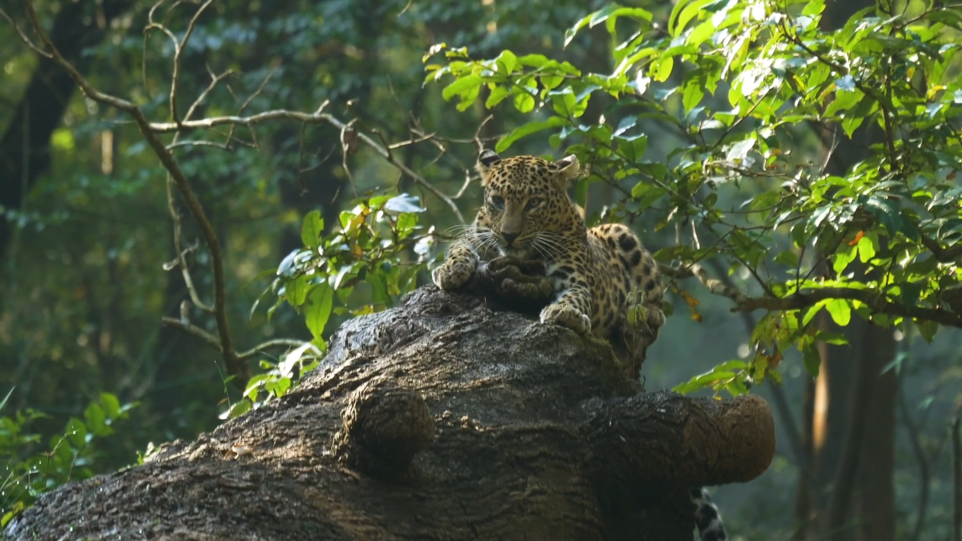 India Has Lost 75-90% of its Leopard Population