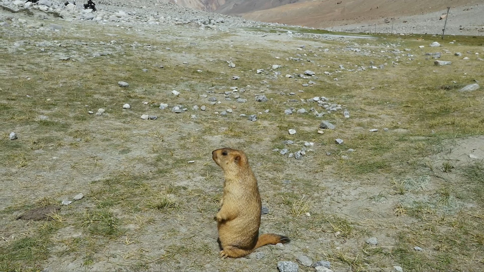 All is Not Well with the Himalayan Marmot