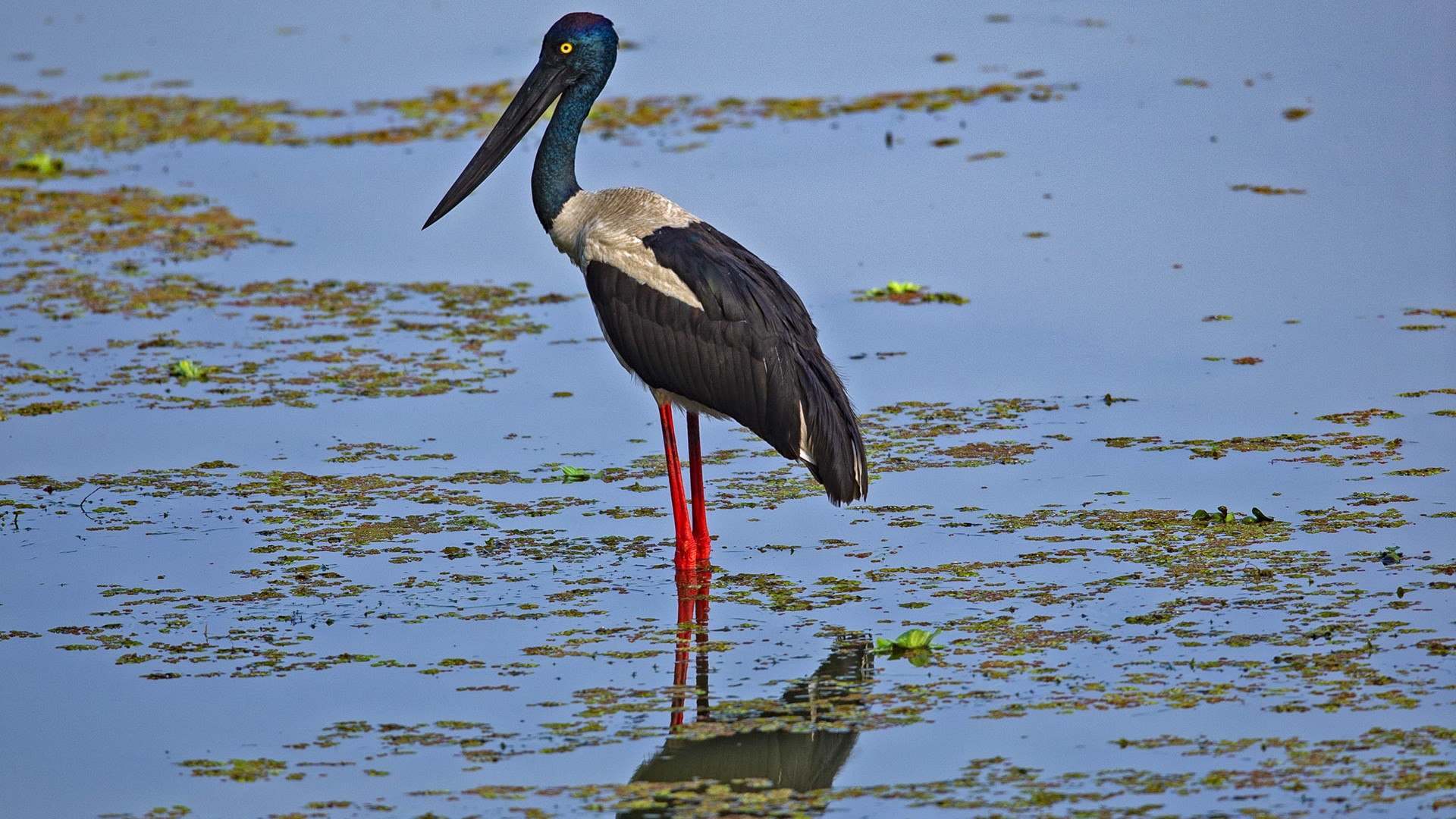 Black-necked Stork in the Eye of the Marsh