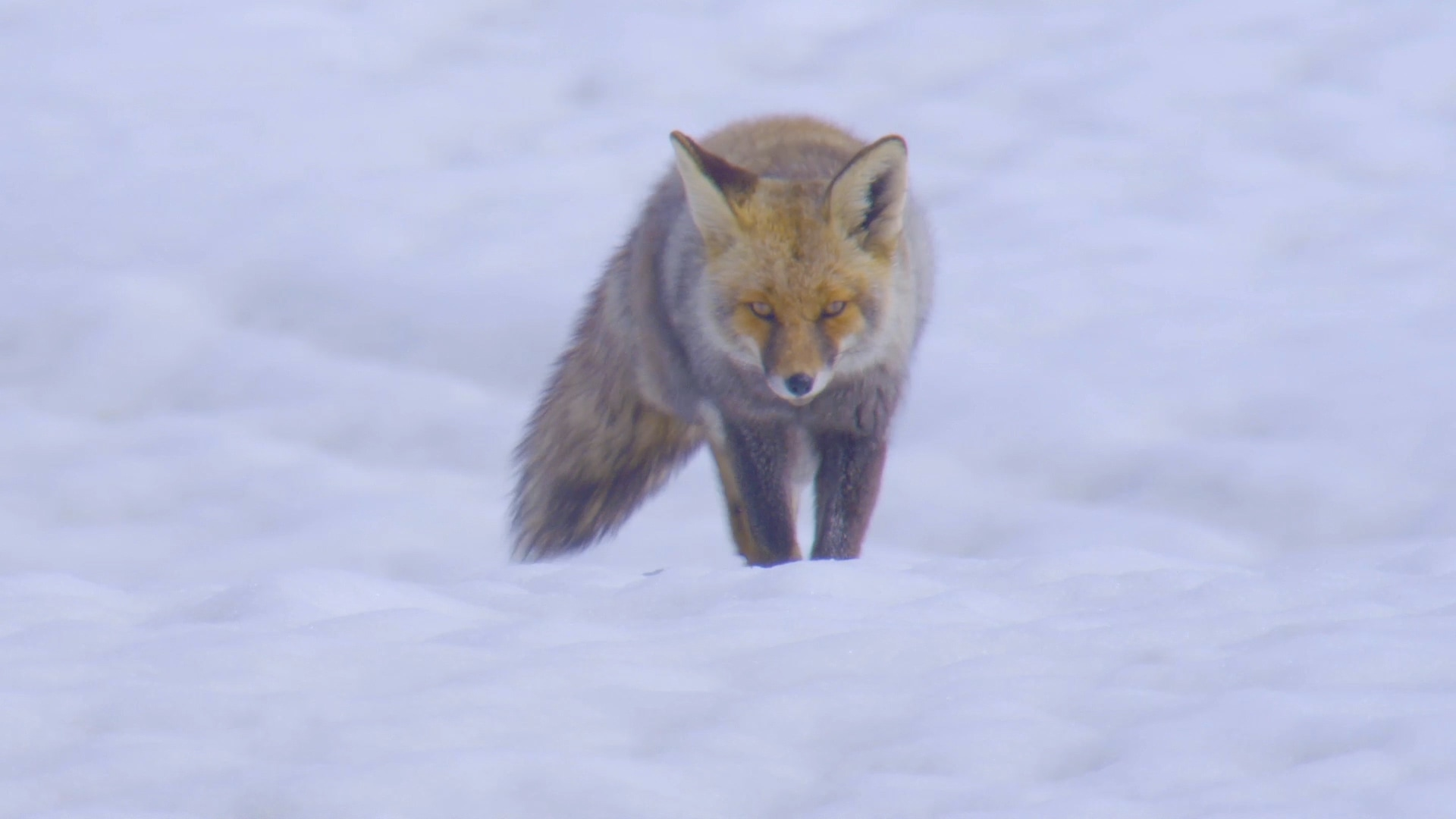 The Fox Trot: The Bushy-tailed Red Fox Goes on a Hunt