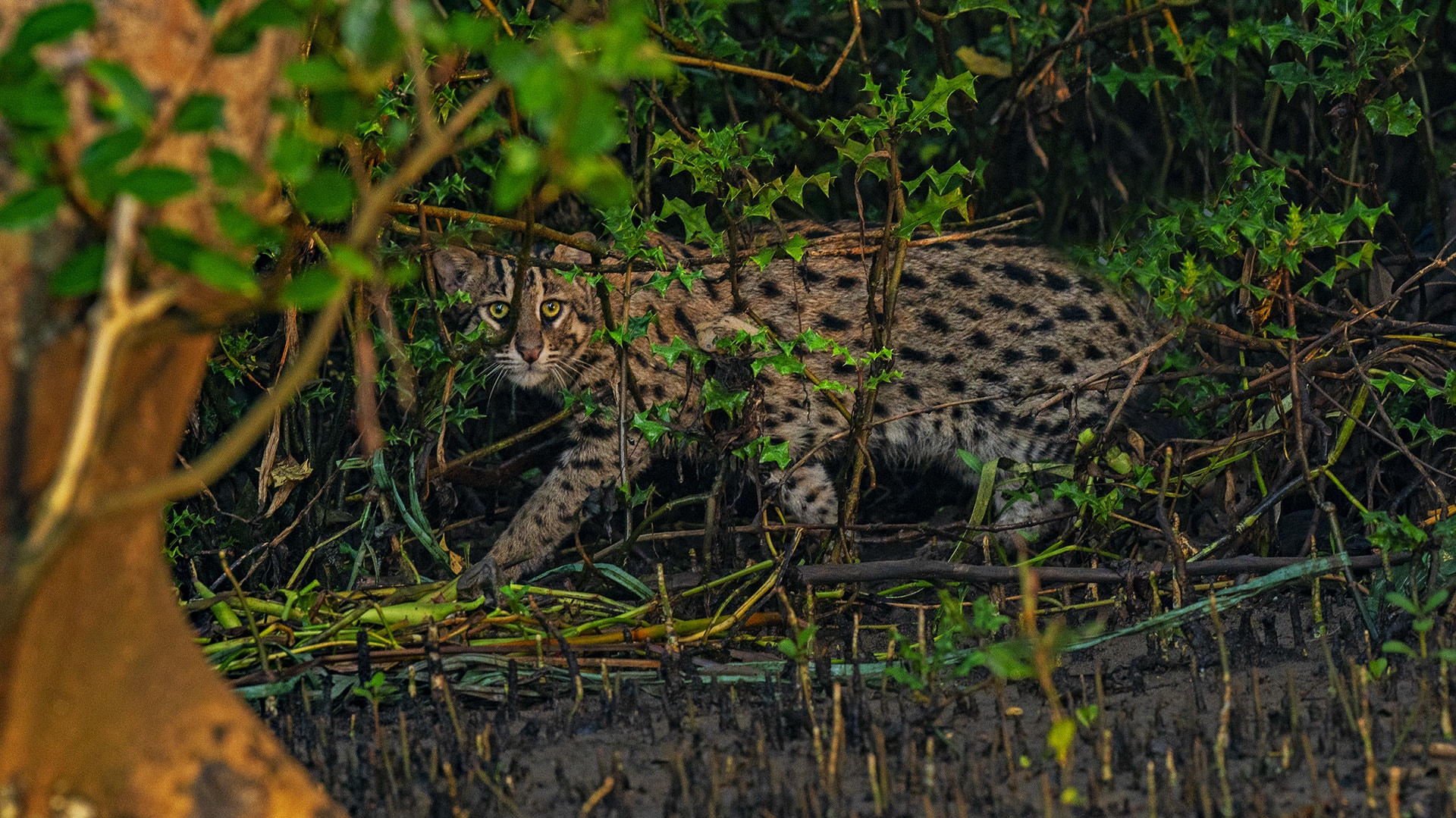 Hunter Among the Mangroves: The Fishing Cat of Coringa