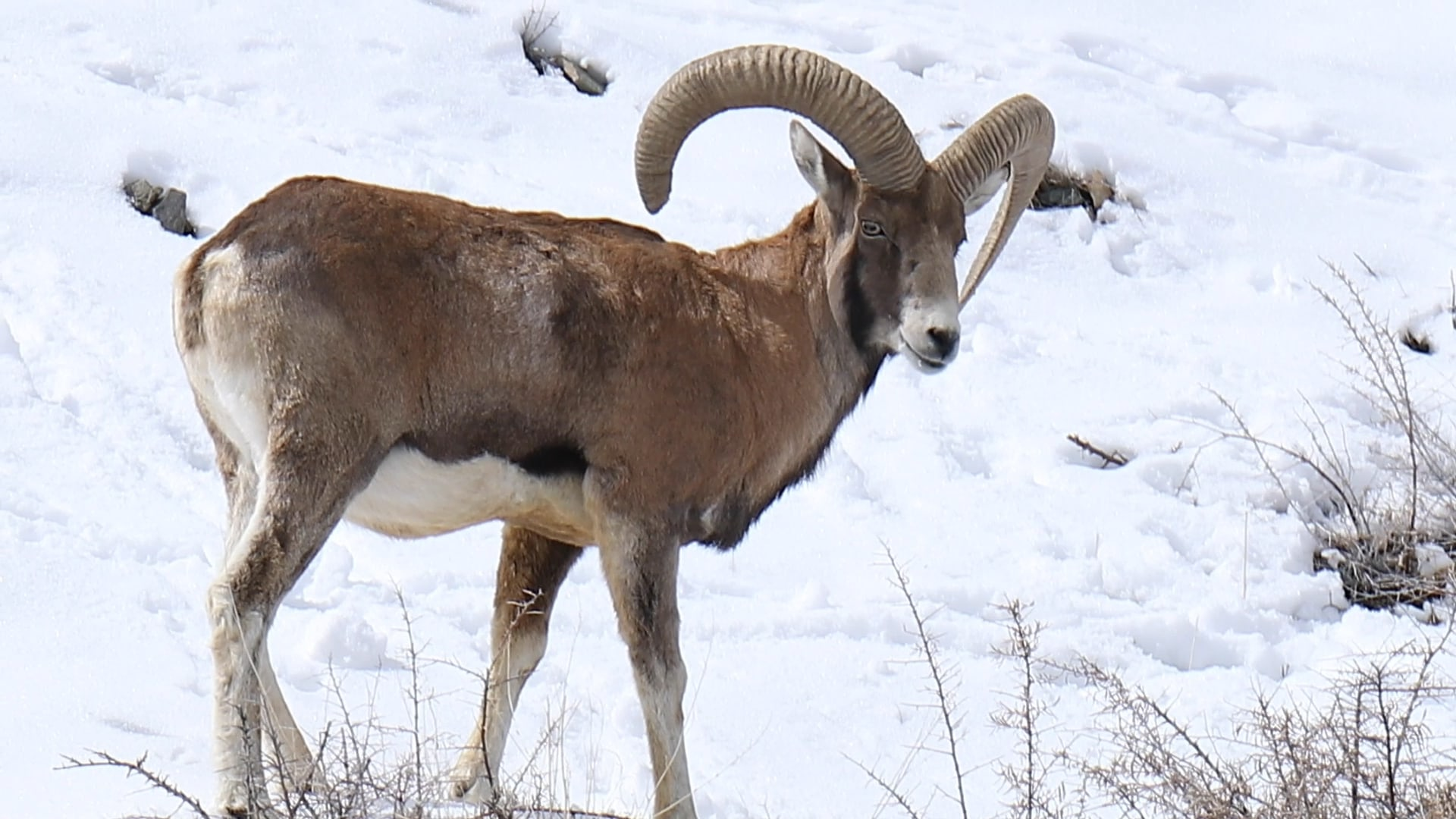 The Ladakh Urial's Life at the Edge