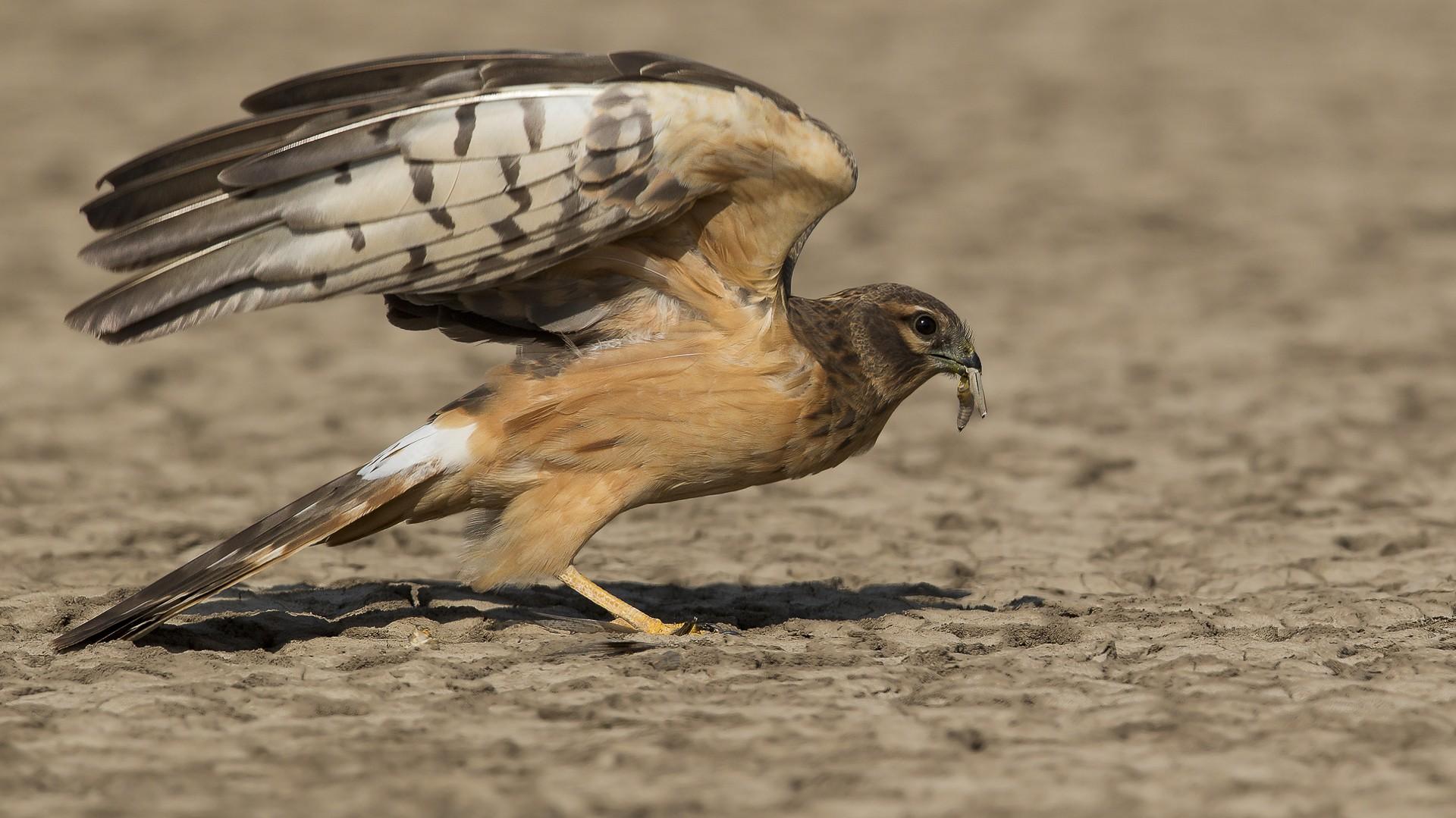 Montagu's Harrier: Facts, Diet, Habitat