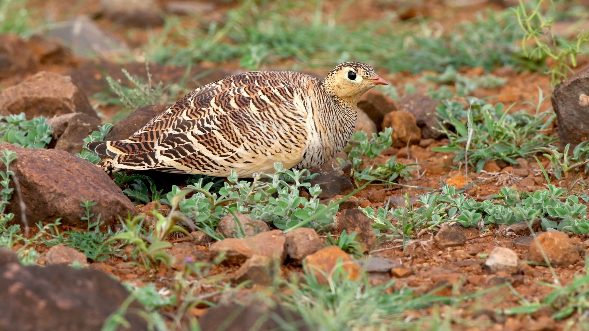Painted Sandgrouse: The Art of Blending In