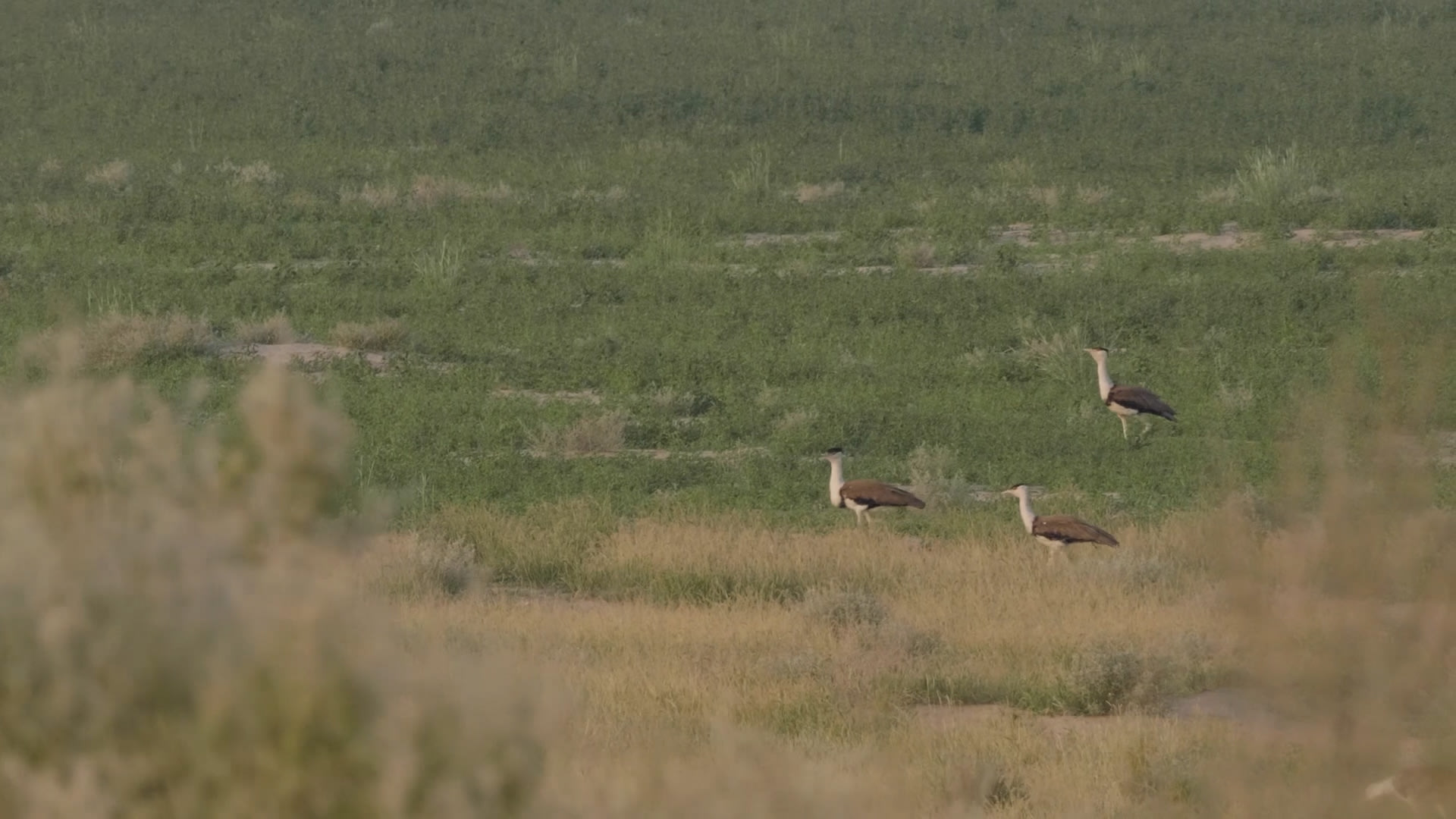Great Indian Bustard's Life on the Edge