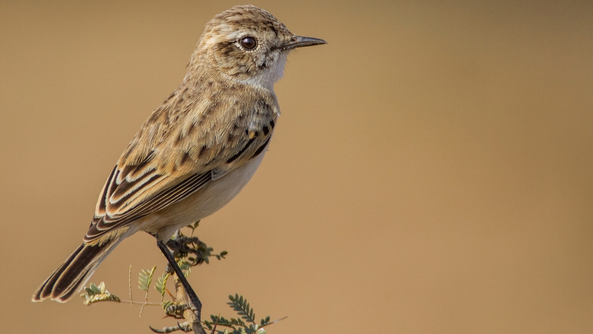 White-browed Bushchat: The Enigmatic Desert Dancer