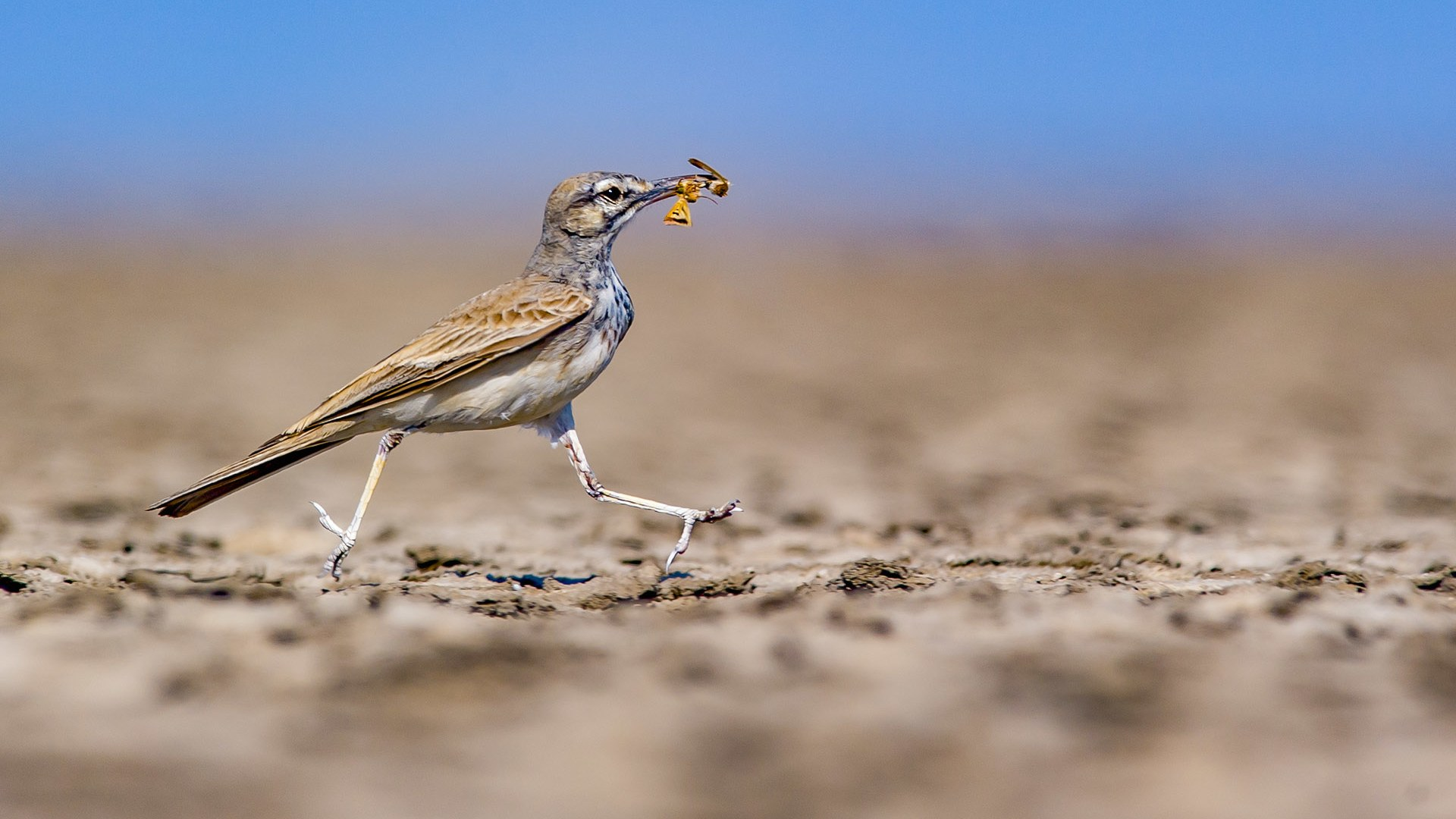 The Trickster of the Desert: Greater Hoopoe Lark