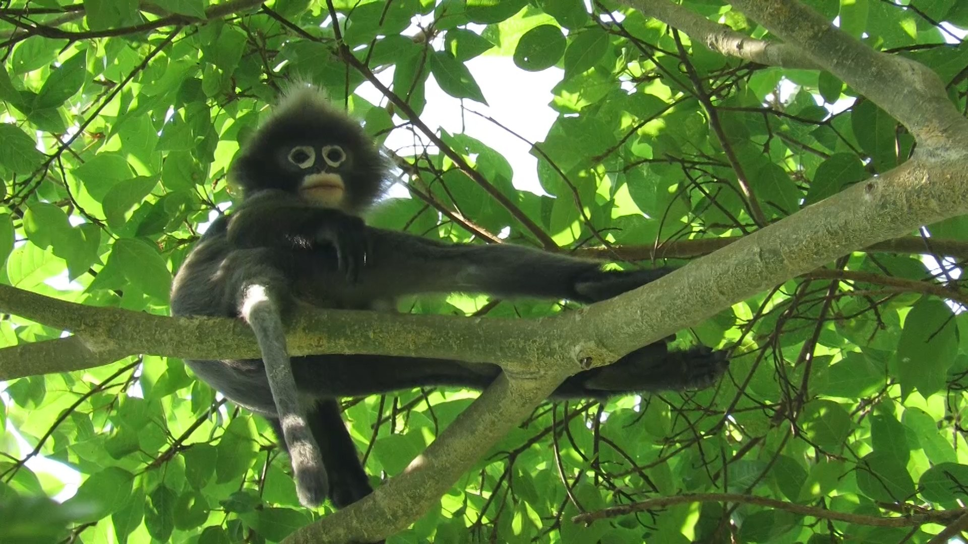 Phayre's Leaf Monkey: The Primate with Spectacles