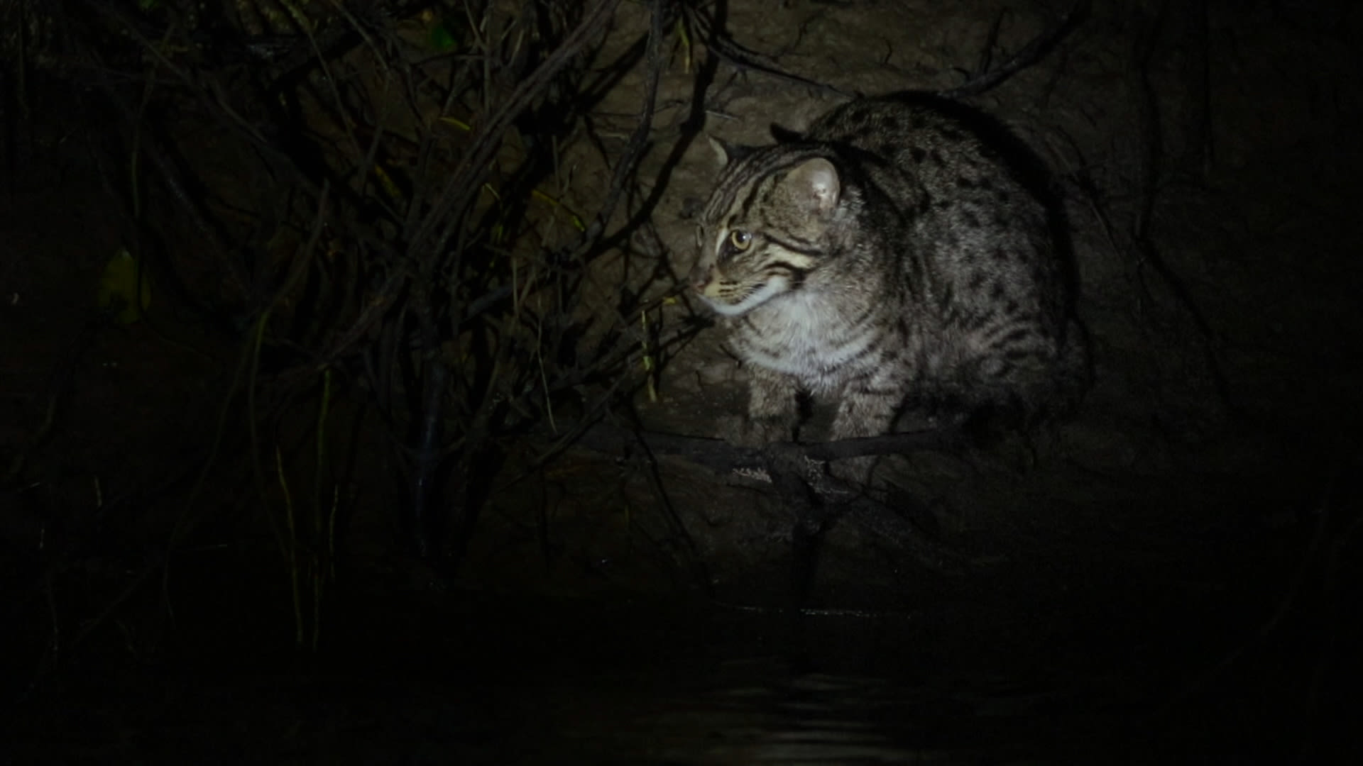 Fishing Cat: Secret Keeper of the Mangrove Forest