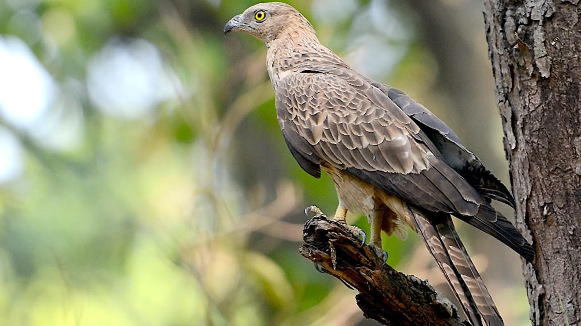 In my Backyard: The Oriental Honey-buzzard