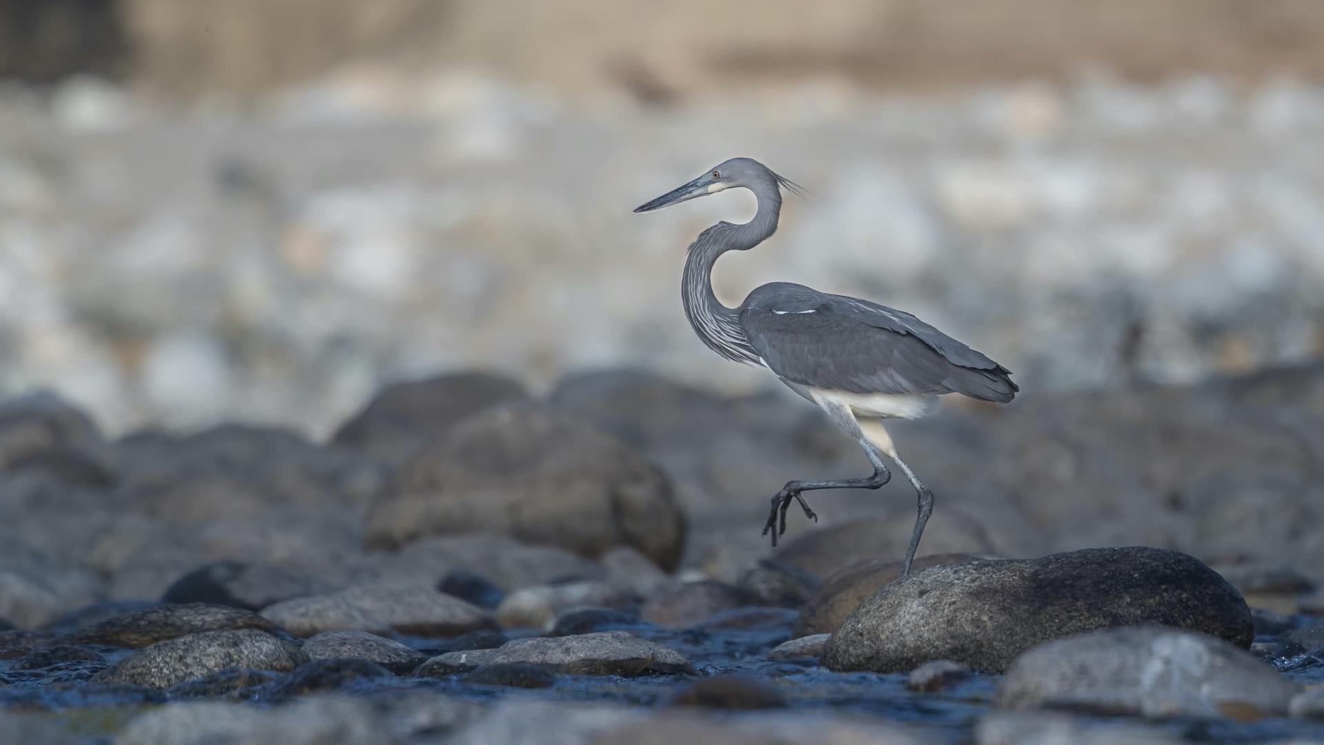 White-bellied Heron: Facts, Diet, Habitat