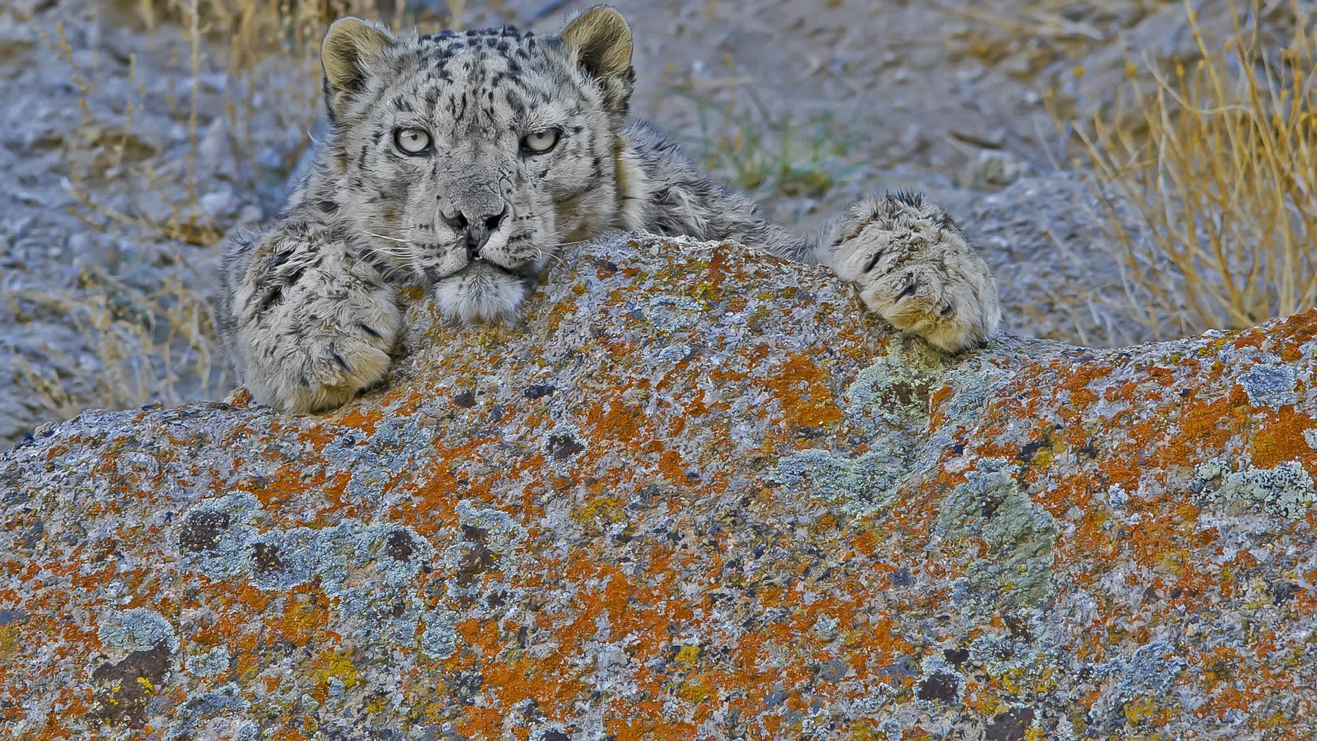 The Shan of Sham: How Local Communities Help Conserve the Snow Leopard