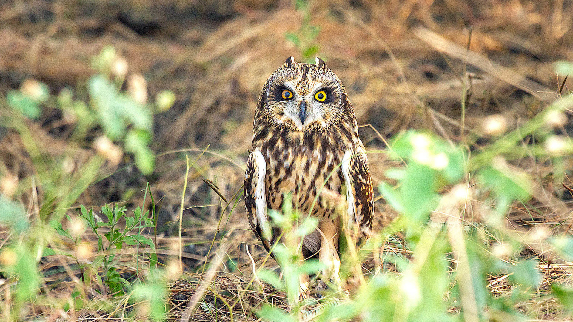 Pussyfooting Parliamentarians: Short-eared Owls in the Little Rann