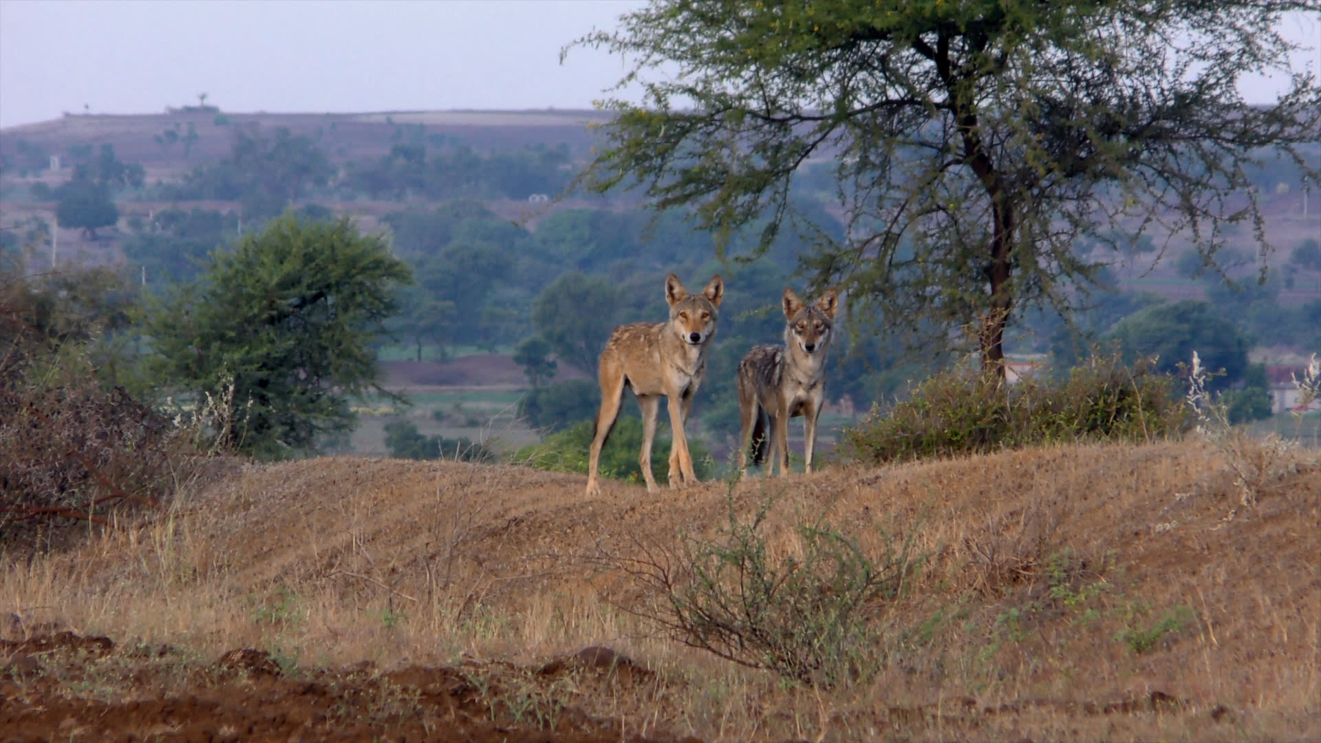 A Reign at Risk: The Indian Grey Wolf and the Grasslands of Saswad