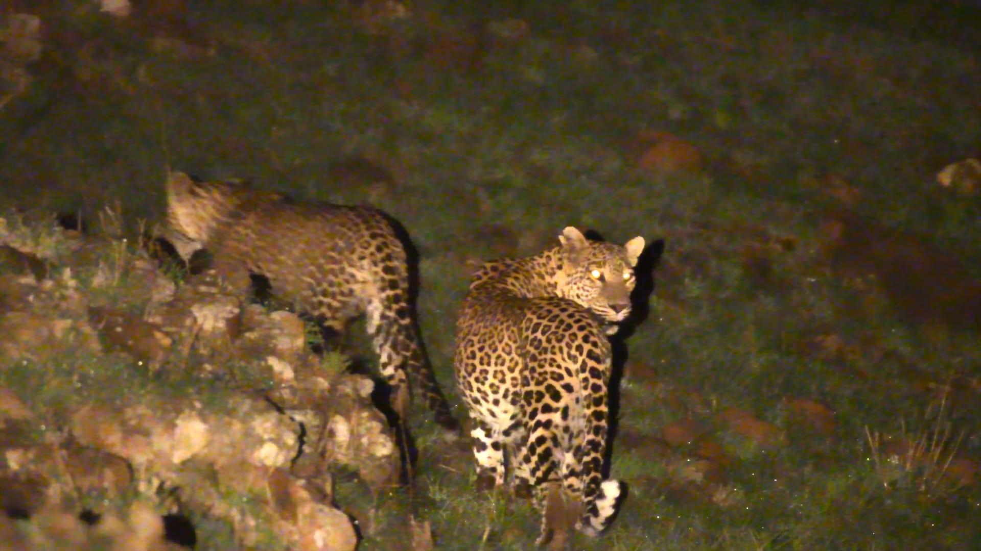 Leopards of Saswad: On the Edge of a Concrete Jungle