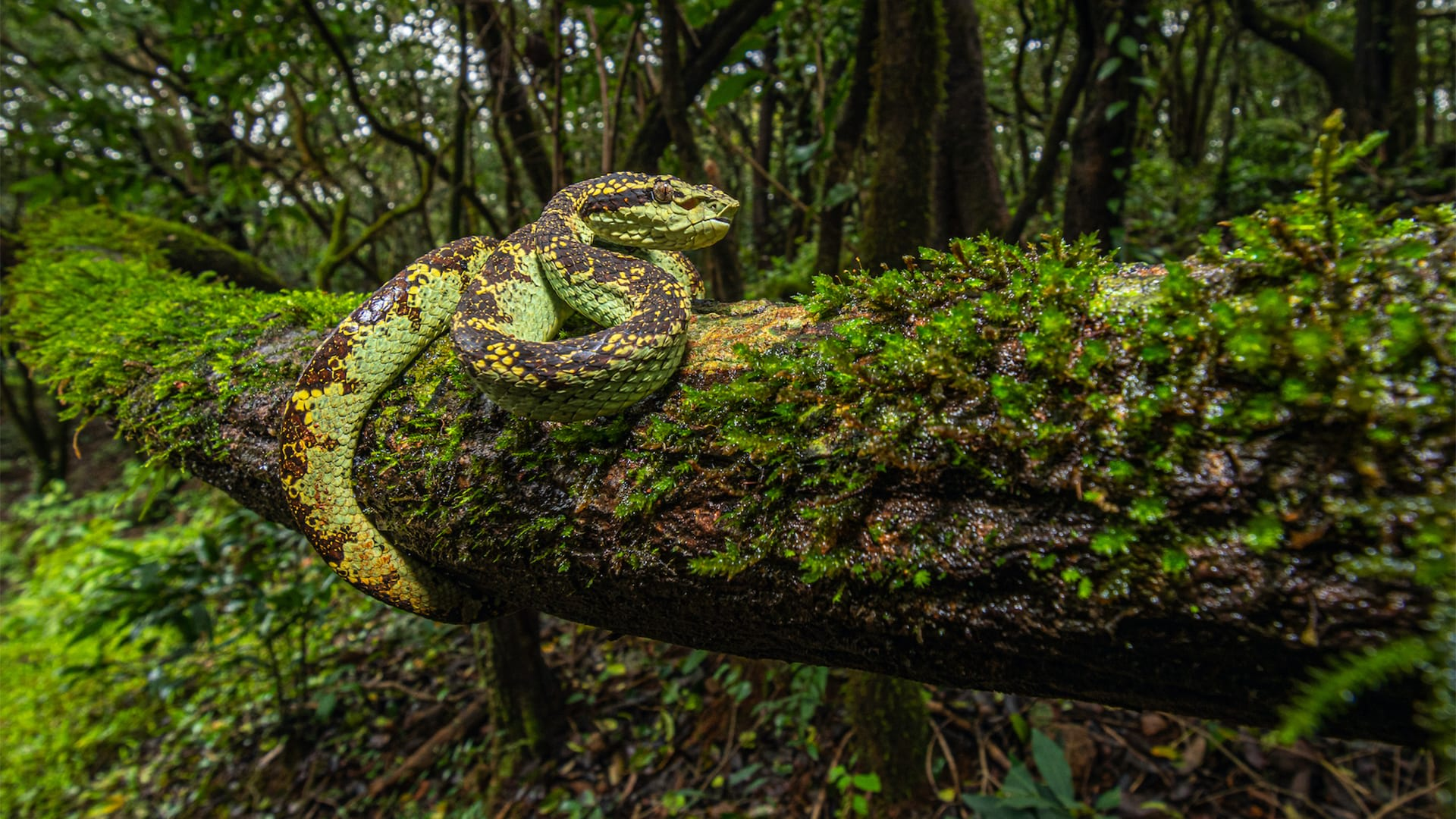 Silent Knight: How the Malabar Pit Viper Hunts in the Dark