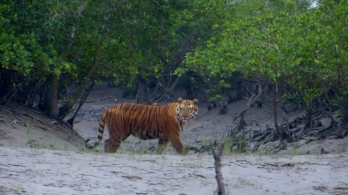 Feared, Loved, Worshipped: The Enigma of the Sundarbans Tiger