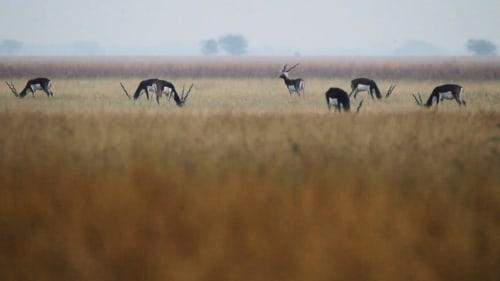 Wild, Wild West: Little Rann of Kutch and Velavadar