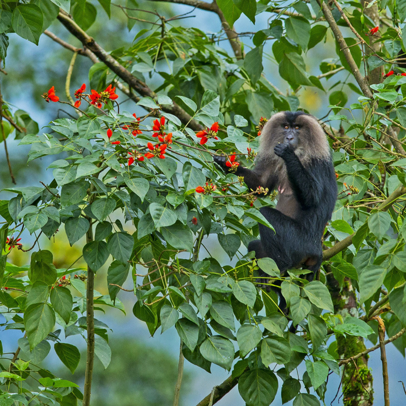 Lion-tailed macaques: Acrobats of the Canopy