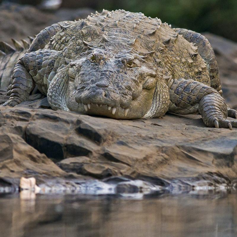 Mugger: River Monster or Peaceful Giant?