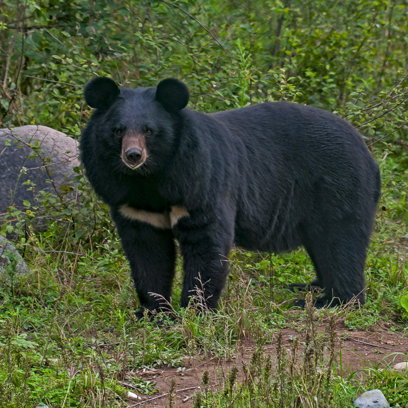 The Asiatic Black Bear Goes to Town