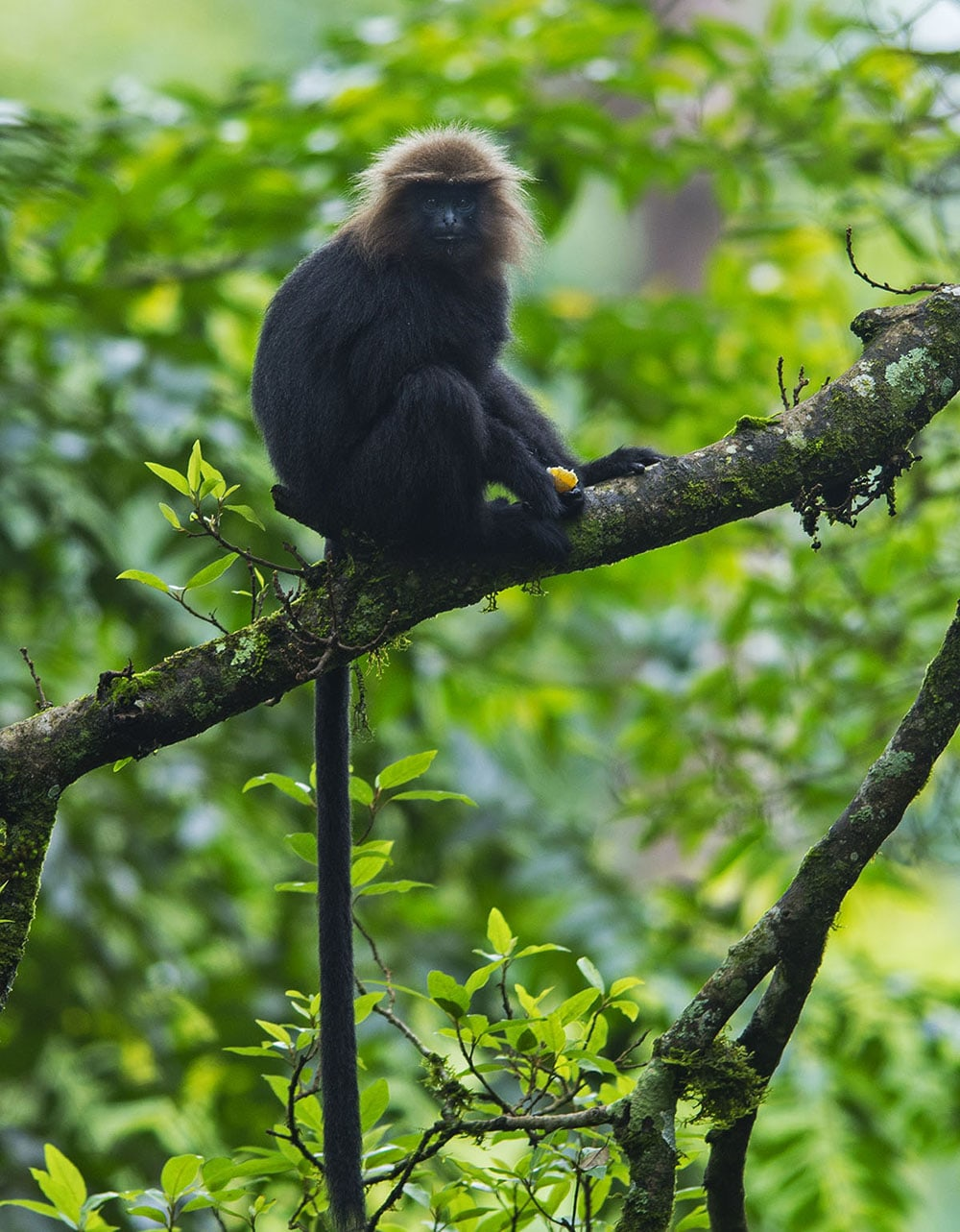 The Nilgiri langur's long tail is what distinguishes it from its more-celebrated, similarly-coloured cousin – the lion-tailed macaque. Photo: Dhritiman Mukherjee