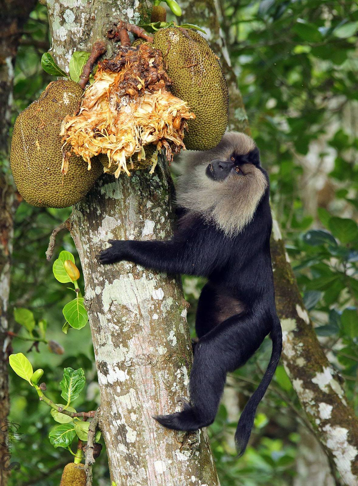 Jackfruit is one of the lion-tailed macaque's favourite foods. These monkeys may also supplement their frugivorous diet with insects and small vertebrates. Photo: Karthikeyan Shanmugasundaram