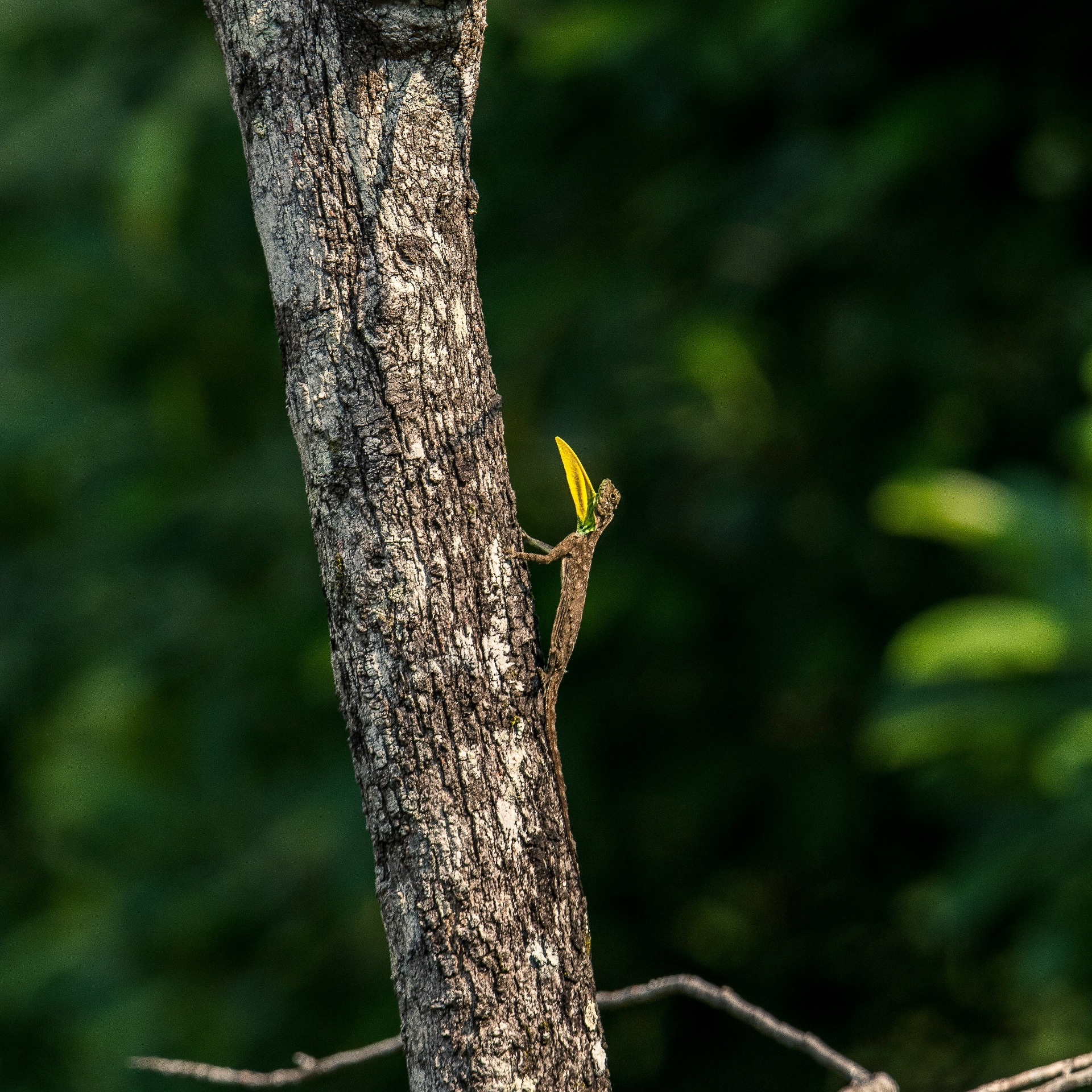 A male draco perched high up a tree, sending out a visual signal with its bright yellow-green dewlap. Photo: Samuel John