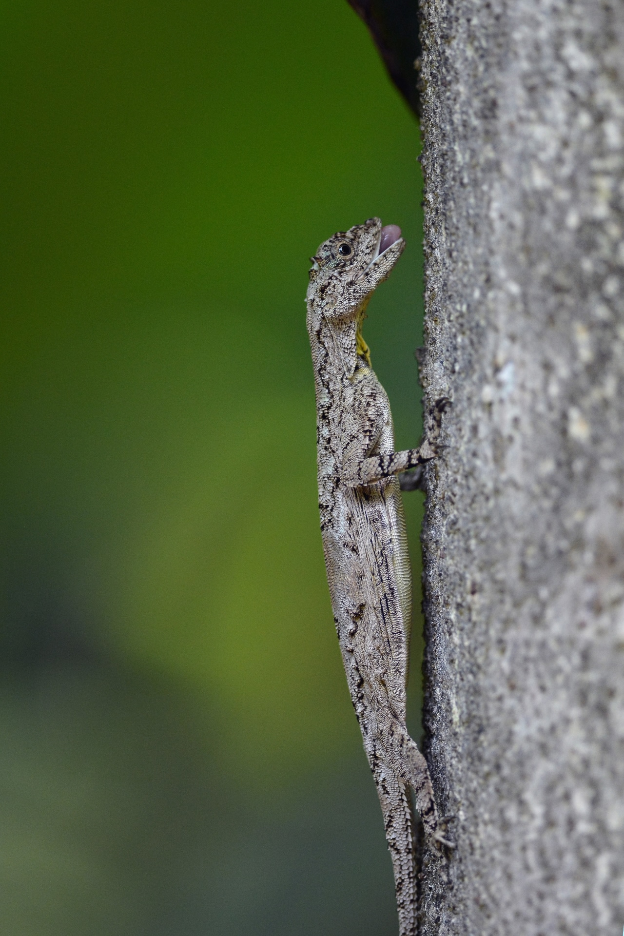 The draco lizard will often position itself on a tree trunk, beside a trail of ants on the move, ready to gobble up its favourite prey. Photo: Sudheendr Bhat