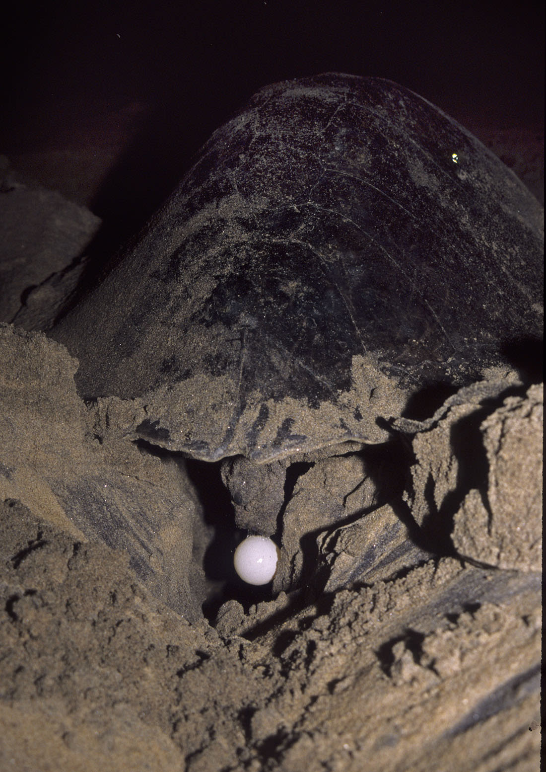 The turtle's eggs are shaped like golf balls and have a leathery texture that allows them to dent without breaking when they drop. Photo: Dhritiman Mukherjee