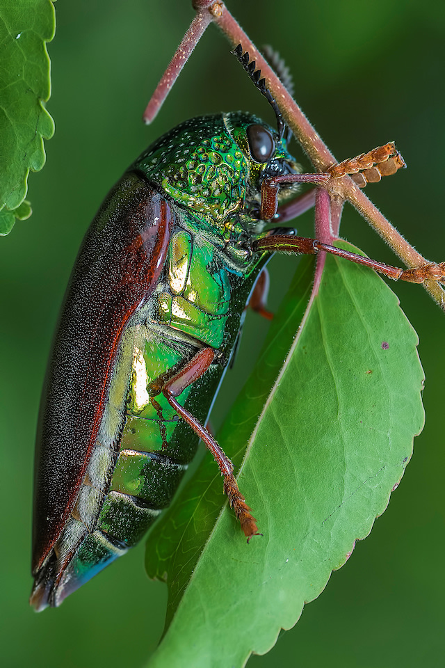 Confident in its ability to hide in plain sight, the jewel beetle such as this Sternocera chrysis from West Bengal doesn't appear to be worried about predators. Photo: Arijit Mondol