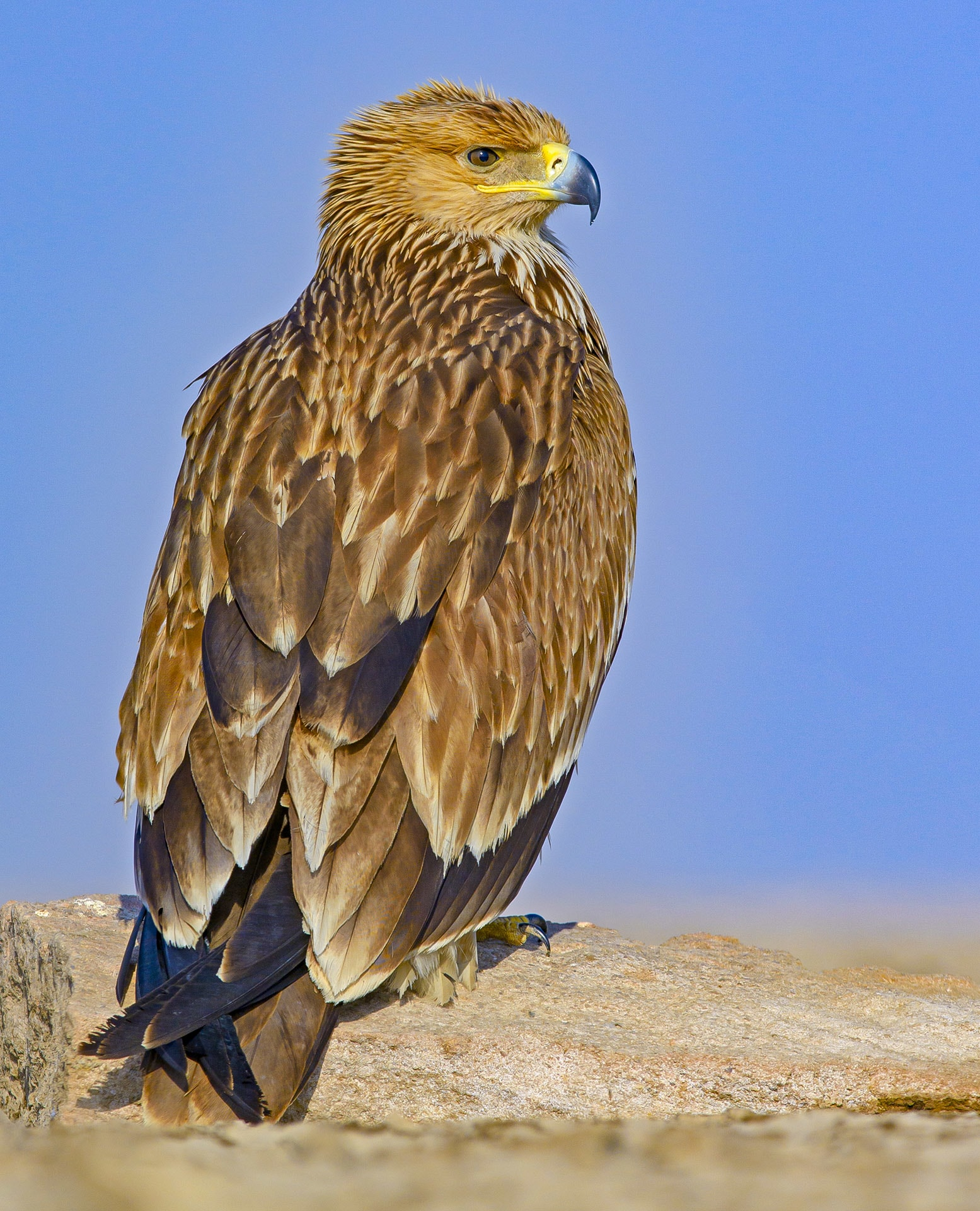 """Eagles have relatively large wingspans that they use to soar above the ground and fly long distances. Species such as the eastern Imperial eagle (Aquila heliacal) are migratory in nature and breed in a variety of locations, including Austria, China, Greece, Russia, and Georgia. They spend the winter months in the Middle East, Africa, and parts of the Indian subcontinent, """"mainly in north and northwest India, not in peninsular India,"""" says Dr Rahmani. Photo: Dhritiman Mukherjee"""