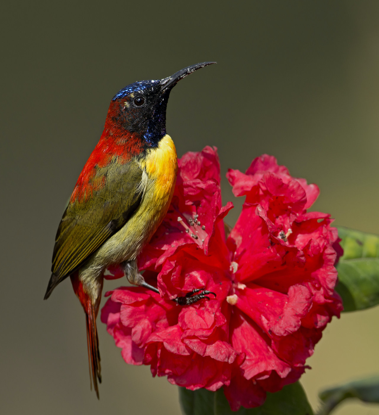A fire-tailed sunbird feeding on Rhododendron arboreum flowers in Singalila National Park, in West Bengal. Photo: birajsarkar/Shutterstock