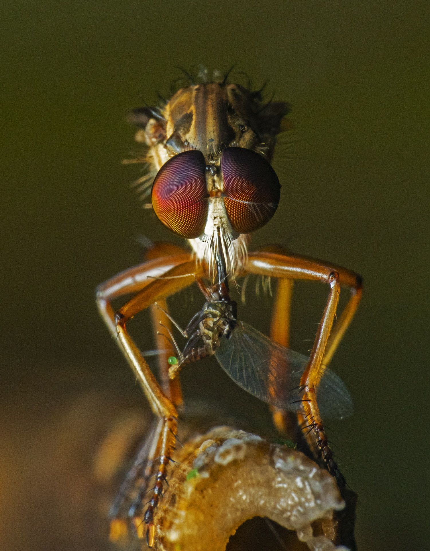 There are several such fascinating species in Agumbe that live intriguing lives. With its stout built, swift flight and special mouthparts, the robberfly is an agile predator known to feed on varieties of insects by catching them in flight. With their specialised mouthparts, they first stab their prey, inject toxin to kill, liquify its flesh and finally suck their slimy meal.