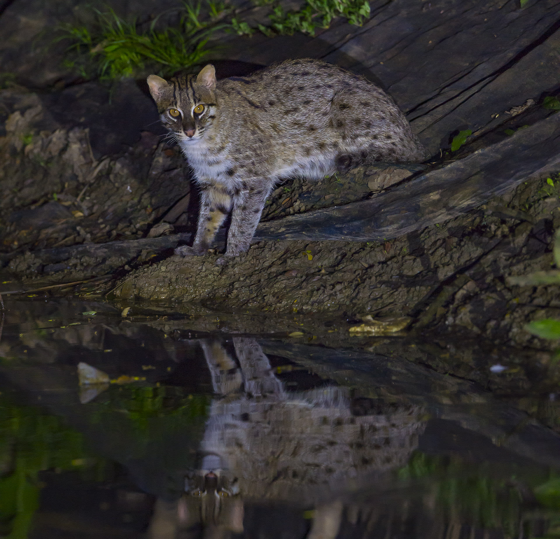 "Fishing cats in Howrah ""have always lived in these rural landscapes,"" says wildlife photographer Dhritiman Mukherjee. ""but they are so stealthy, that people often don't know they are around."" There is also some confusion between identifying fishing cats and the similarly sized jungle cats and palm civet, says Mukherjee, ""so people may know that there is some wild cat around, but not which one it is."" Photo: Dhritiman Mukherjee"