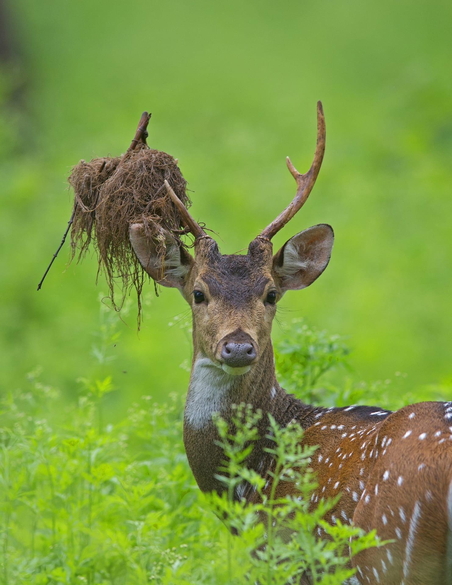 The spotted deer is one of the park's most common residents with large herds seen trotting across the park. The male typically has branching, three-tined antlers that can grow up to one metre in length.