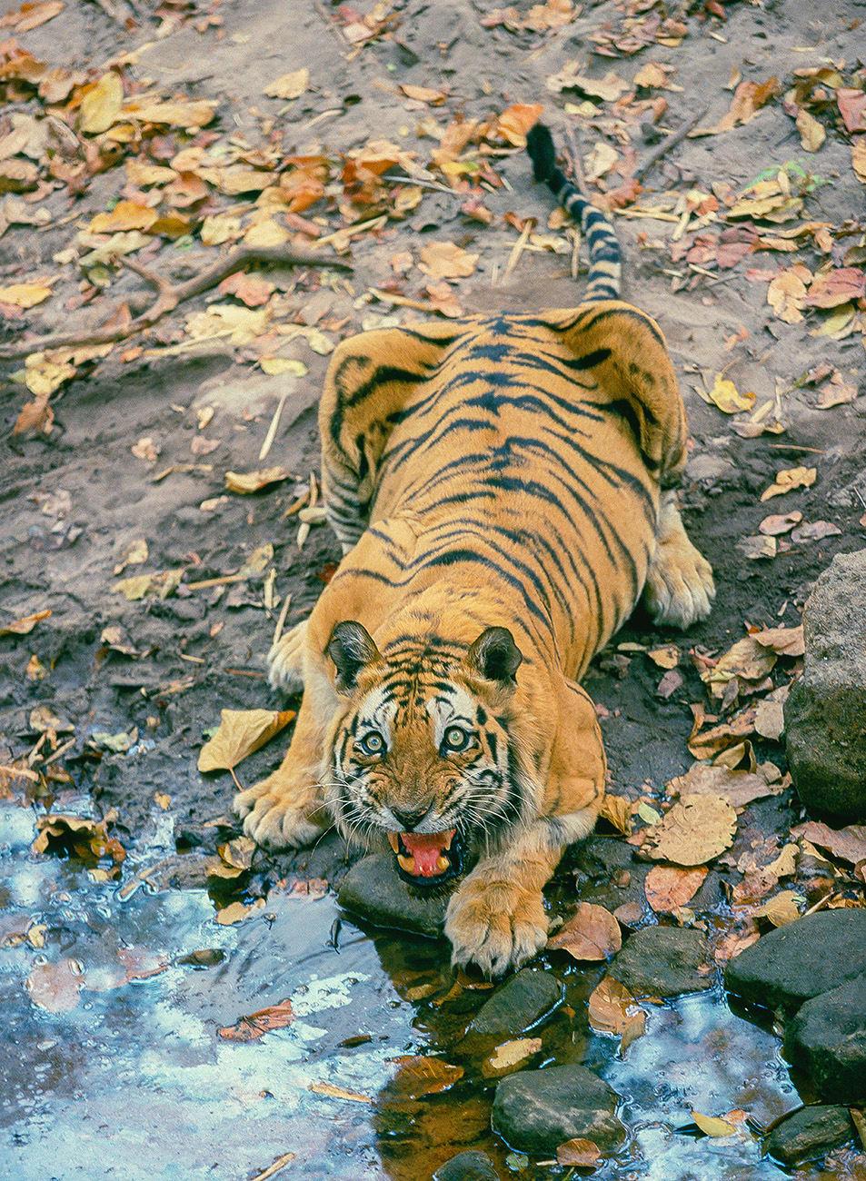 A tiger charges at a tourist at Bandhavgarh National Park. Photo: Jagdeep Rajput, late 1990s