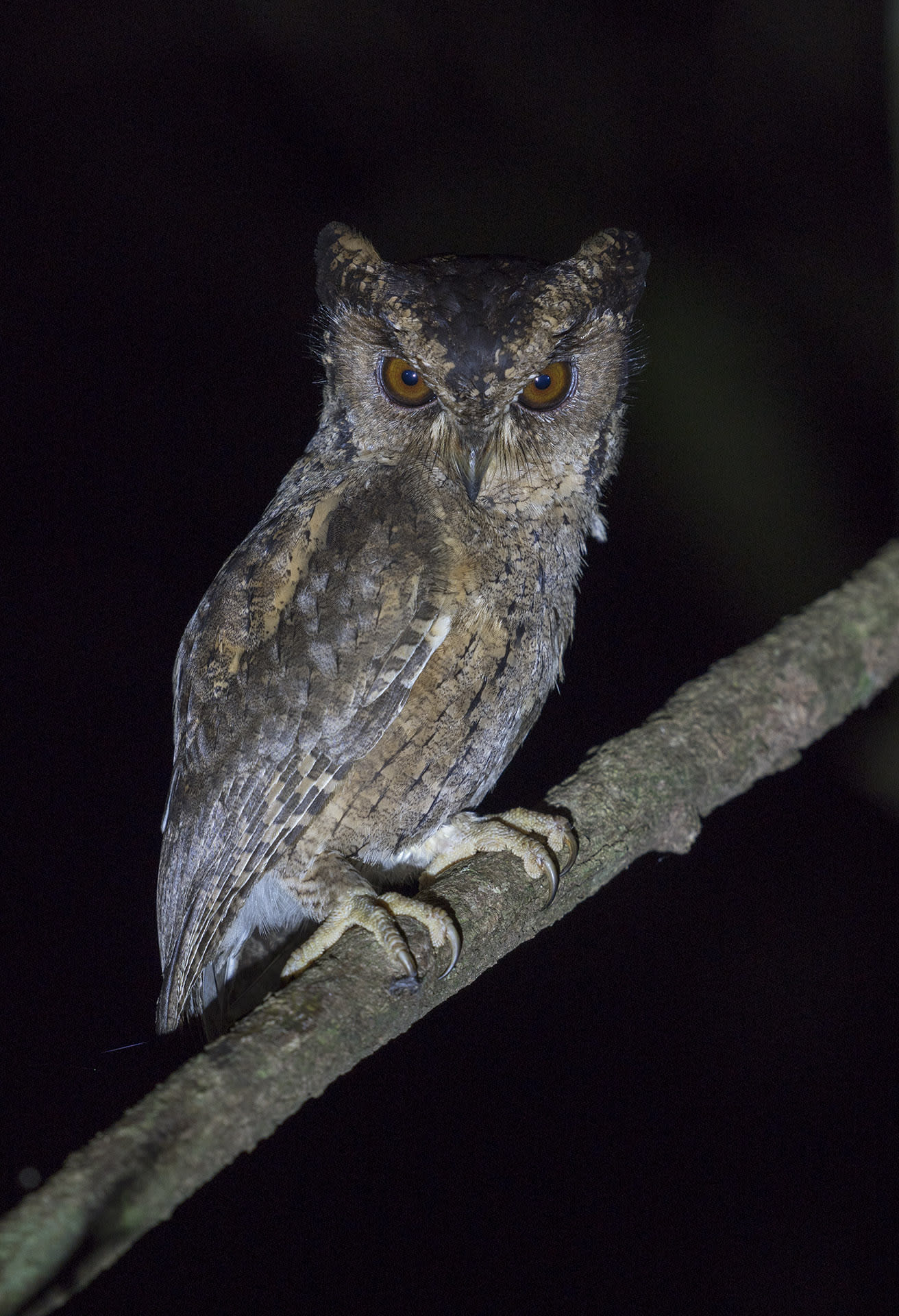 """Scops owls are small birds that are masters of camouflage. Their colouring, of brown, black, or grey tinged feathers, tends to vary with the area they inhabit. They blend easily into the bark of trees, dark hollows, and tree cavities, where they like to roost. The bodies of both the collared scops owl (Otus lettia) (top) and the Indian scops owl (Otus bakkamoena) (above) closely resemble a tree trunk. """"Collared and Indian scops owls look and even sound similar to each other, but the collared scops owl is found in the Himalayas and the Northeast, while the Indian scops owl is distributed across peninsular India,"""" says Dalvi."""
