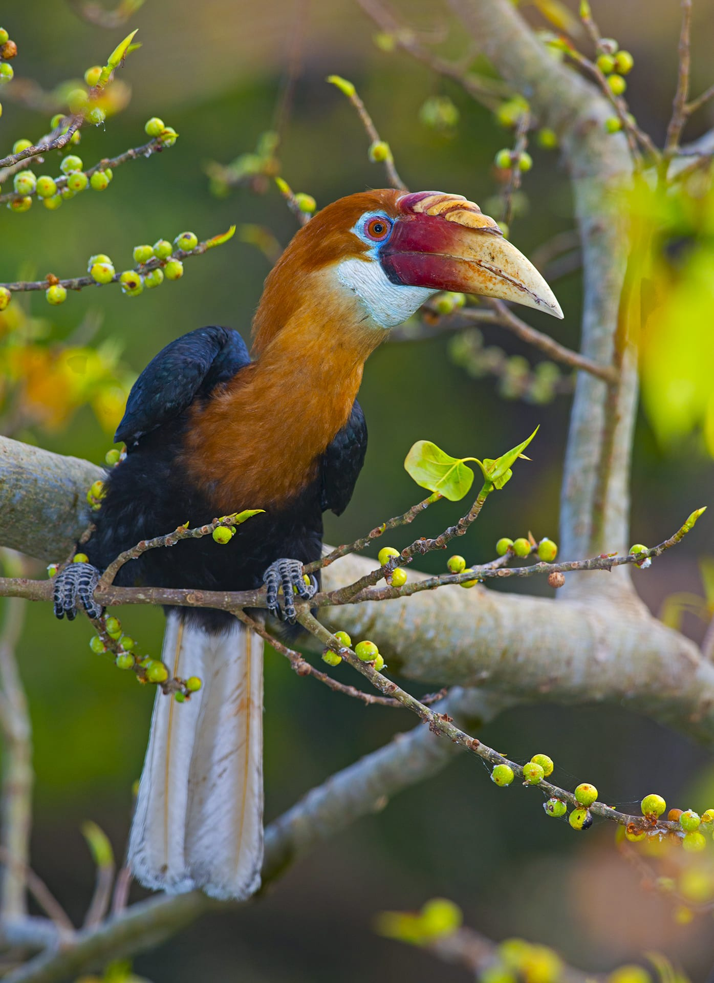 """Hornbills are frugivores for most of the year, except during breeding and chick-rearing season, when they feed on insects for higher protein intake. Their food preferences have changed over the years, says Dr Manchi. """"Earlier, species such as Canarium euphyllum and Anglaia andamanica were not recorded as a food sources, but my research showed it was a dominant part of their diet."""""""