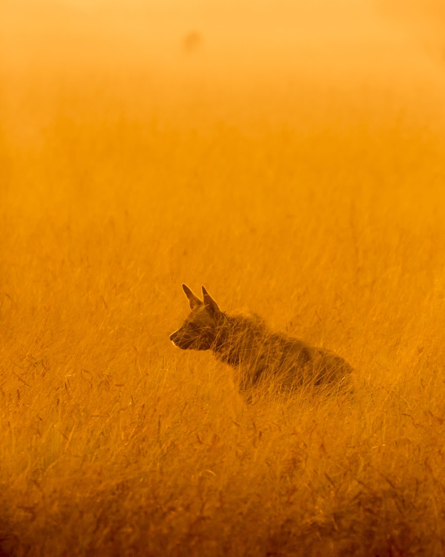The striped hyena is a hardy survivor. For instance, in semi-arid and arid deserts, it can go without water for several days. Photo: Partha Pratim Kundu  Cover photo: When threatened, the striped hyena sticks up the mane on its back, making itself look larger and more intimidating. Cover photo: Vickey Chauhan/Shutterstock