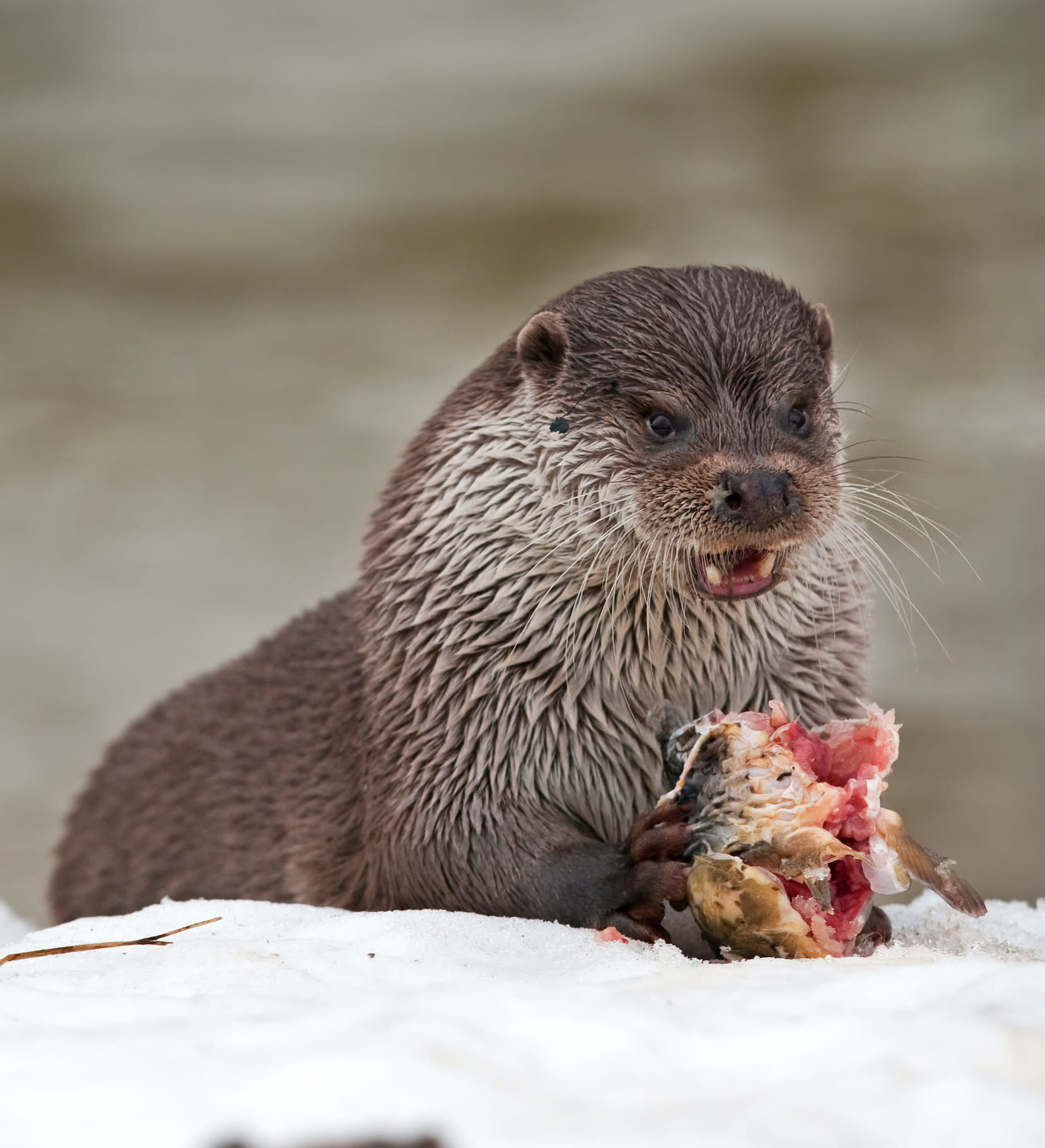 Eurasian otters, like all other members of the mustelid family, do not hibernate even in peak winter. Photo: Martin Prochazkacz/Shutterstock