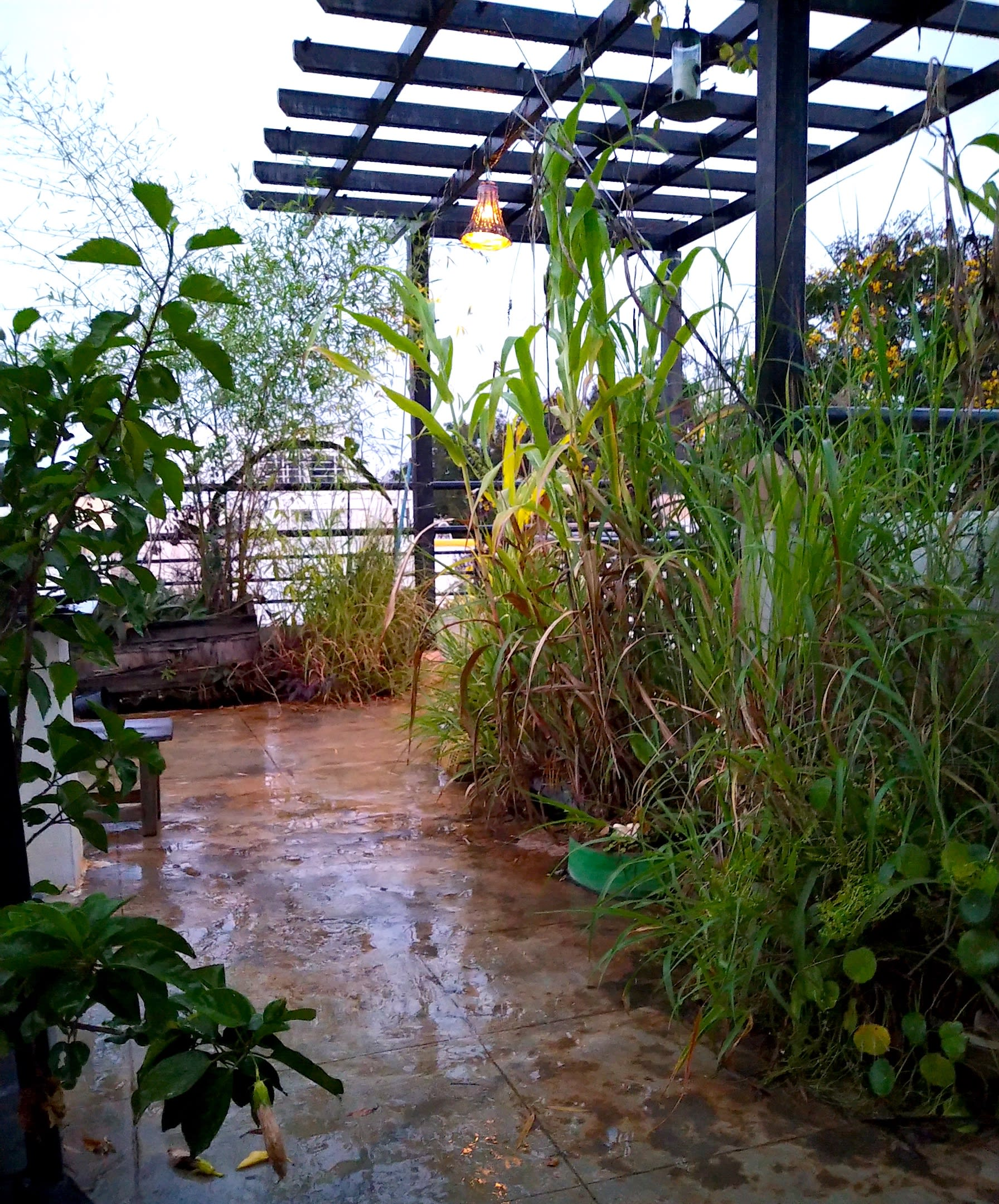 Native bamboo and wild sorghum dominate the terrace garden along with an assortment of other grasses. Photo: Nisarg Prakash  Cover photo:  These ephemeral fungi appear only during the humid weather of the monsoon. They disperse spores with the falling rain and disappear as the weather turns dry, only to reappear again with the next monsoon. Cover photo: Nisarg Prakash