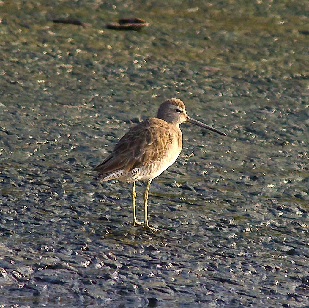 During the winter when it migrates, the adult bird is muddy brown, with a long, straight dark bill and yellowish legs. When feeding, it may deliberately stand in one spot for a while before moving forward. Photo: Saurabh Sawant