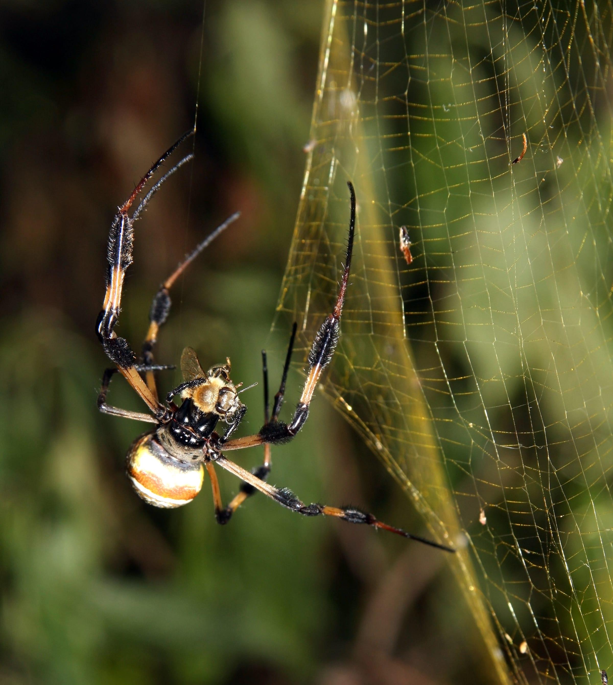 A banana spider (Nephila clavipes or Trichonephila clavipes) biting a honey bee ( Apis mellifera ).  Photo: Ianaré Sévi CC BY-SA 3.0