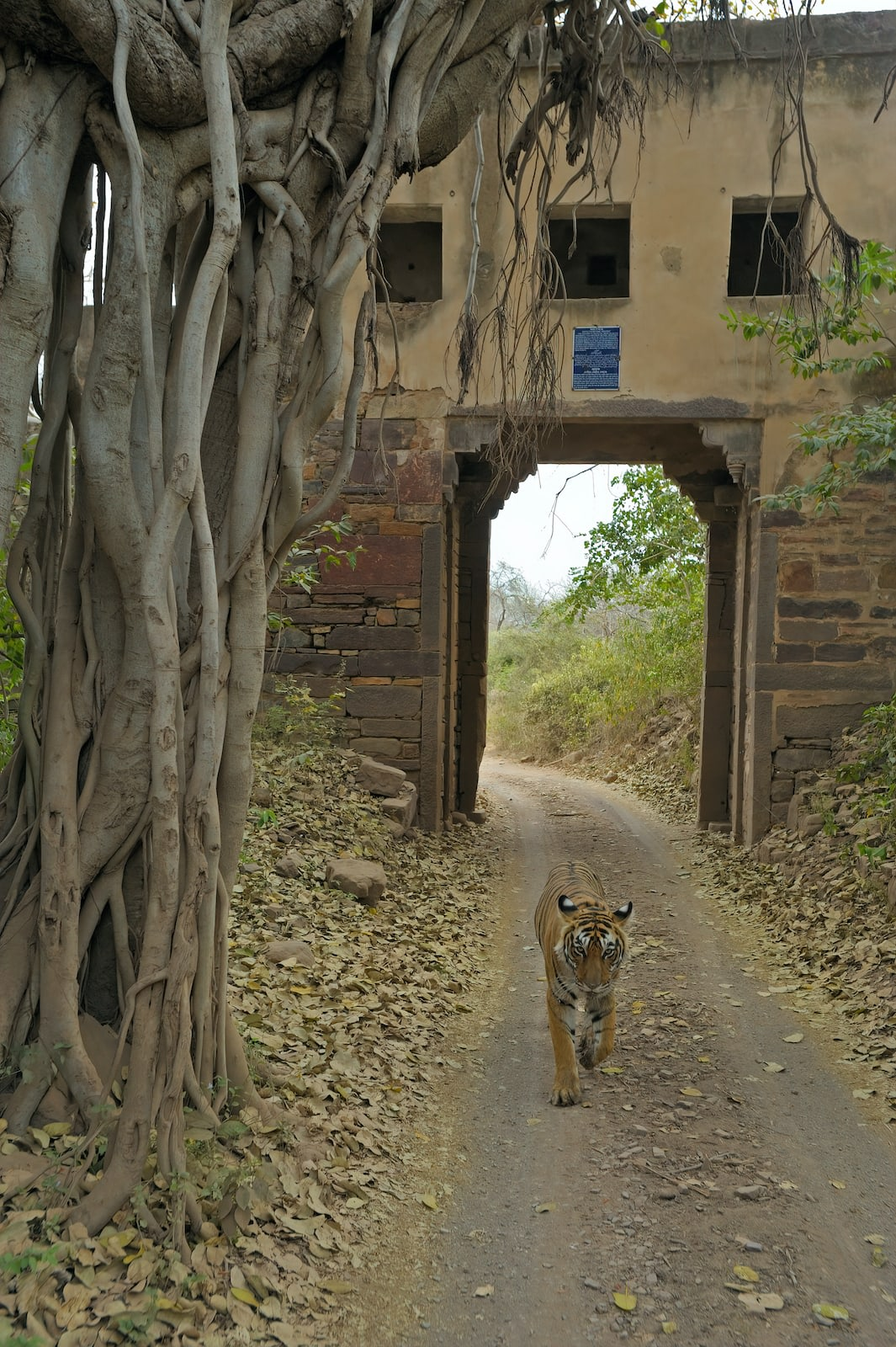 """The """"bada gate"""" or the big gate is a gateway with a long stretch of walls on either side of the gate, a few hundred meters inside the Jogi Mahal entrance to the national park, along the shores of the Padam Talao lake. Since the wall on either side of this gate is still largely intact, wild animals use this gate a lot, when they need to get across this walled barrier. There is room on top of the gate with three windows. A spiral staircase leads up to this room. Strong winds blowing from over the lake keep this room cool and in summers we sometimes find tigers resting in this room. Many decades ago, before the present gate was built, this was the main entrance to the national park."""