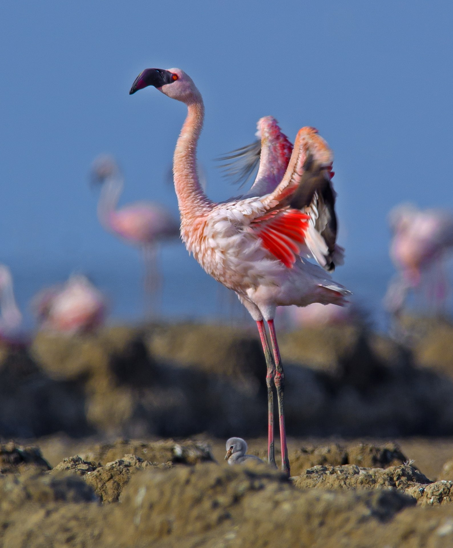 """Eggs take 27-30 days to hatch, says Shah. """"It takes the young between 24-36 hours to fully emerge from the egg, once the first crack, also known as a pip, has been made."""" Flamingo hatchlings are extremely resilient and fast-growing. They leave their nest within 4-8 days and start growing feathers for flight within a week. During this time, one parent remains with the chick while the other forages, sometimes going as far as 100 km away. """"It's quite amazing that the adults know exactly which nest is theirs, in a colony of 10,000 birds, based on the sounds between chicks and parents."""""""